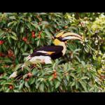great-hornbill-naturally-langkawi